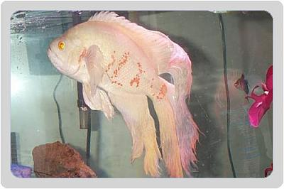 1274-big-albino-long-fin-oscar-c.jpg
