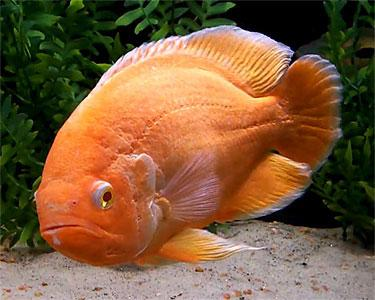 1385999053_572534901_2-pictures-imported-albino-red-oscar-fish-25-inch.jpg