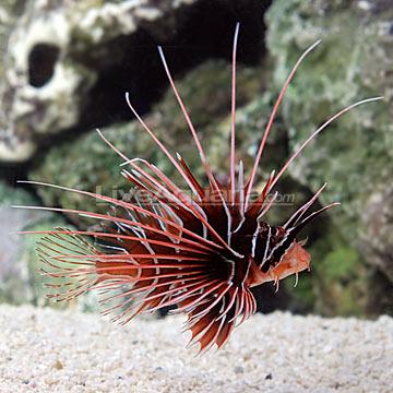 p-39425-radiata-lionfish.jpg
