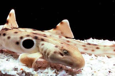 epaulette-shark-closeup.jpg
