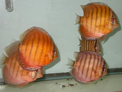 برای دیدن سایز بزرگ روی عکس کلیک کنید  نام: Class 2 Brown (Symphysodon aequifasciata axelrodi).jpg مشاهده: 0 حجم: 34.6 کیلو بایت
