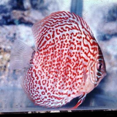 برای دیدن سایز بزرگ روی عکس کلیک کنید  نام: pattern-ring leopard.jpg مشاهده: 0 حجم: 42.7 کیلو بایت