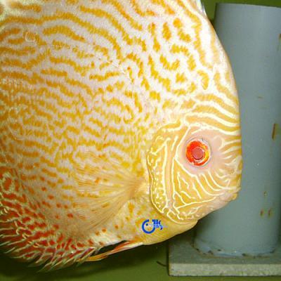 برای دیدن سایز بزرگ روی عکس کلیک کنید  نام: albino snakeskin.jpg مشاهده: 0 حجم: 102.3 کیلو بایت