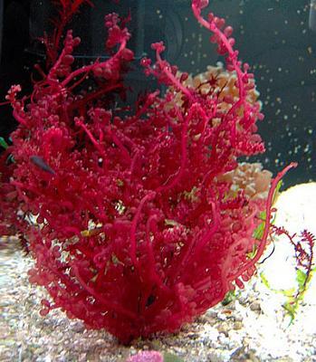 red-grape-macro-algae-big.jpg