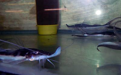 برای دیدن سایز بزرگ روی عکس کلیک کنید  نام: Sturgeon Catfish.jpg مشاهده: 0 حجم: 45.4 کیلو بایت