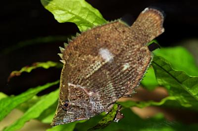 large_10390_leaf_fish.jpg