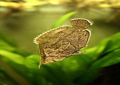south_american_leaf_fish.jpg