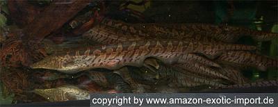rhamphichthys rostratus.jpg