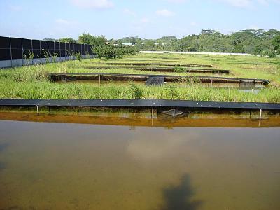 arowana pond 1.jpg