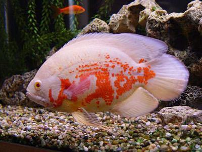 albinotiger.jpg