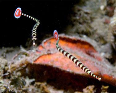 pipefish_banded2.jpg