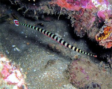 pipefish_banded4.jpg