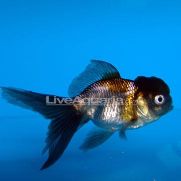 گلدفیش اوراندا آبی (Blue Oranda Goldfish)