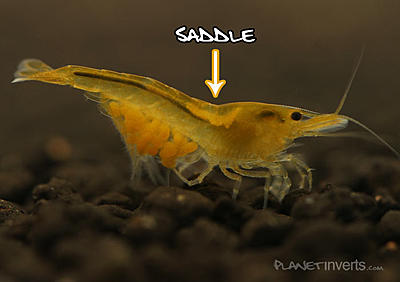 yellow_shrimp_female_saddle.jpg