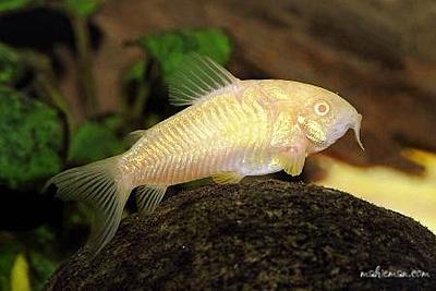 albino-aeneus-corycat.jpg