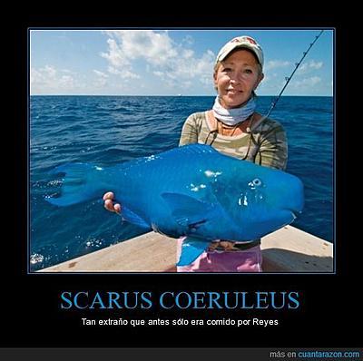 cr_823103_scarus_coeruleus.jpg