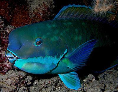 parrotfish_turquoisse.jpg