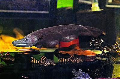 30422290.dragonknifefish01m.jpg