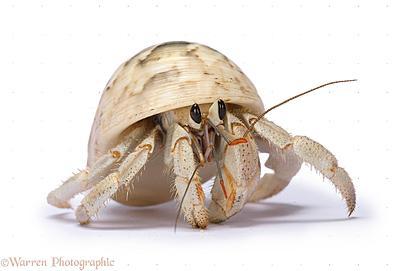 19291-hermit-crab-white-background.jpg