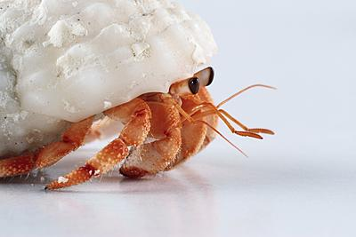hermit crab   move shutterstock_43615582.jpg