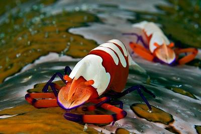best-underwater-pictures-emperor-shrimp_52155_600x450.jpg