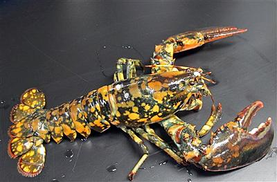 calico-lobster_kahl.jpg
