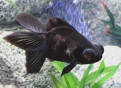 blackmoorgoldfishwfg_cn4d4901.jpg