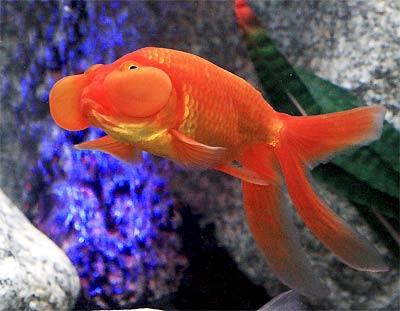 bubbleeyegoldfishwfg_cn4d4884.jpg