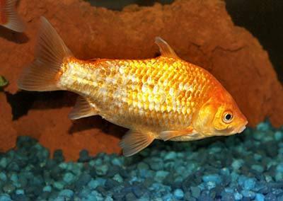commongoldfishwfg_cn40d0036.jpg
