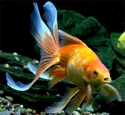 fantailgoldfishwfg_cn0899.jpg