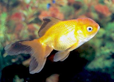 orandagoldfishwfg_acf158.jpg