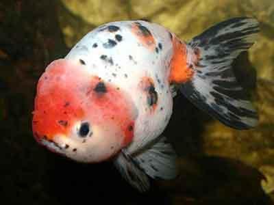 ranchugoldfish_carassiusauratus(var)wfg_acf207.jpg