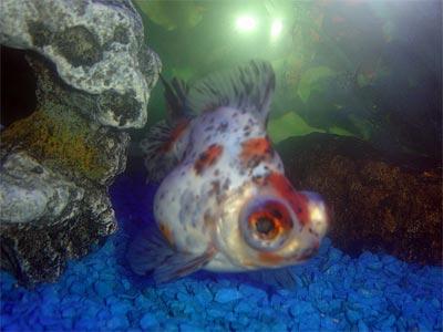 telescopegoldfish_carassiusauratus(var)wfg_acf210.jpg