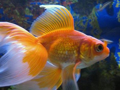 veiltailgoldfish_carassiusauratuswfg_acf213.jpg