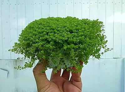 نگهداری گیاهان آکواریومی خارج از آب ( Emersed )