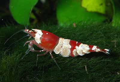 caridina-cf-cantonensis-red-bee.jpg